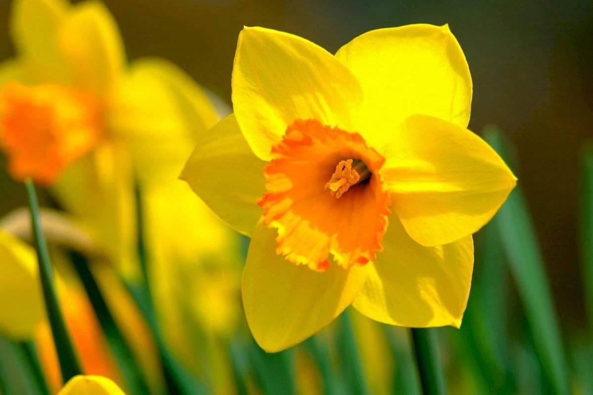 Los narcisos son plantas bulbosas que florecen a finales de invierno y principios de enero.