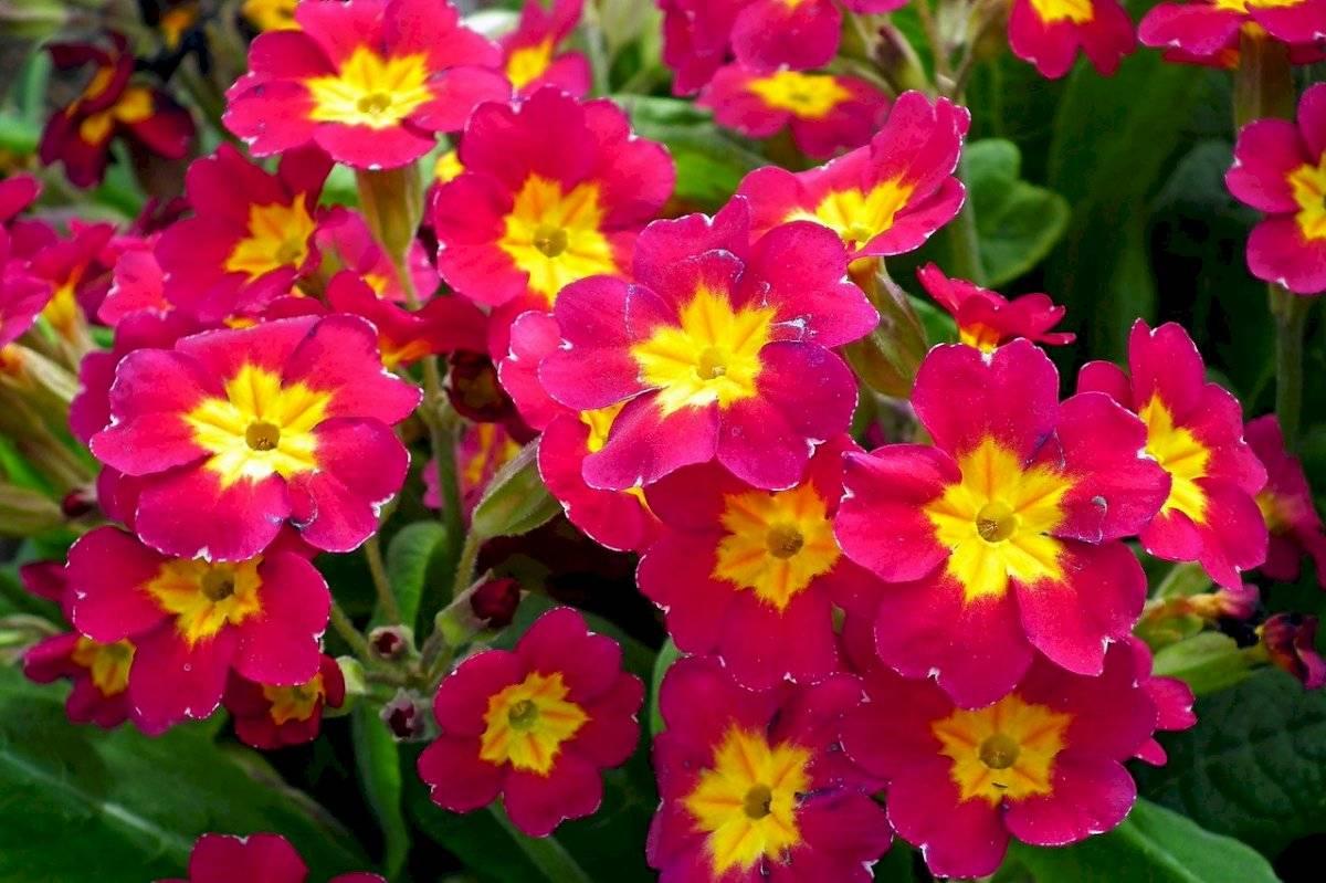 """La prímula es una planta perenne que se conoce también como """"primavera""""."""