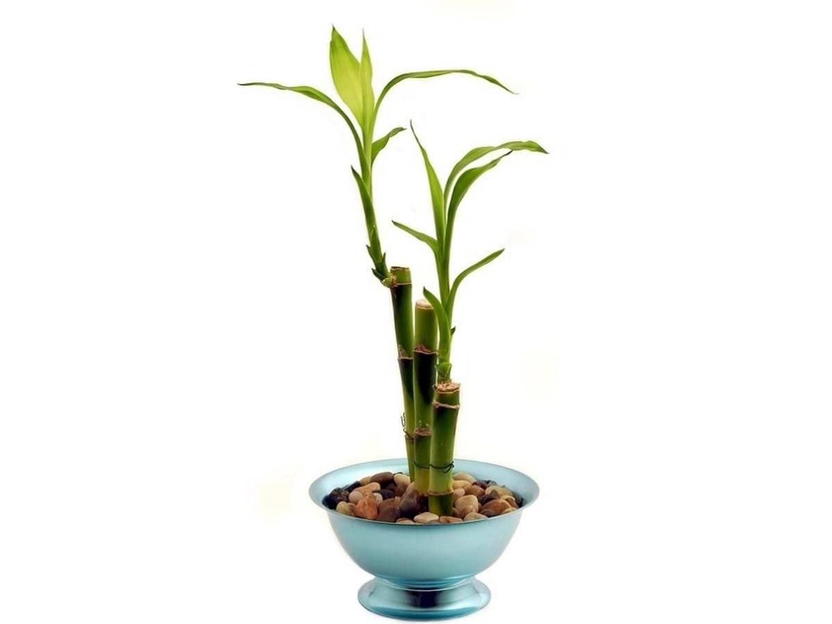 El bambú es símbolo de buena suerte y prosperidad desde hace siglos.