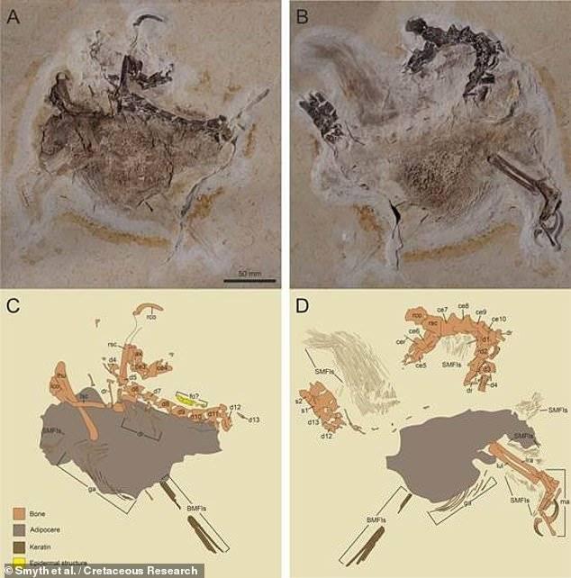 """El fósil del """"pollo prehistórico"""" tiene dividida a la comunidad de la ciencia."""