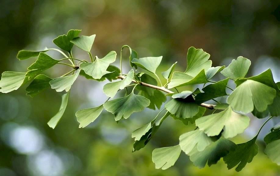 Dentro de las plantas medicinales, la ginkgo biloba se distingue por sus múltiples usos medicinales.