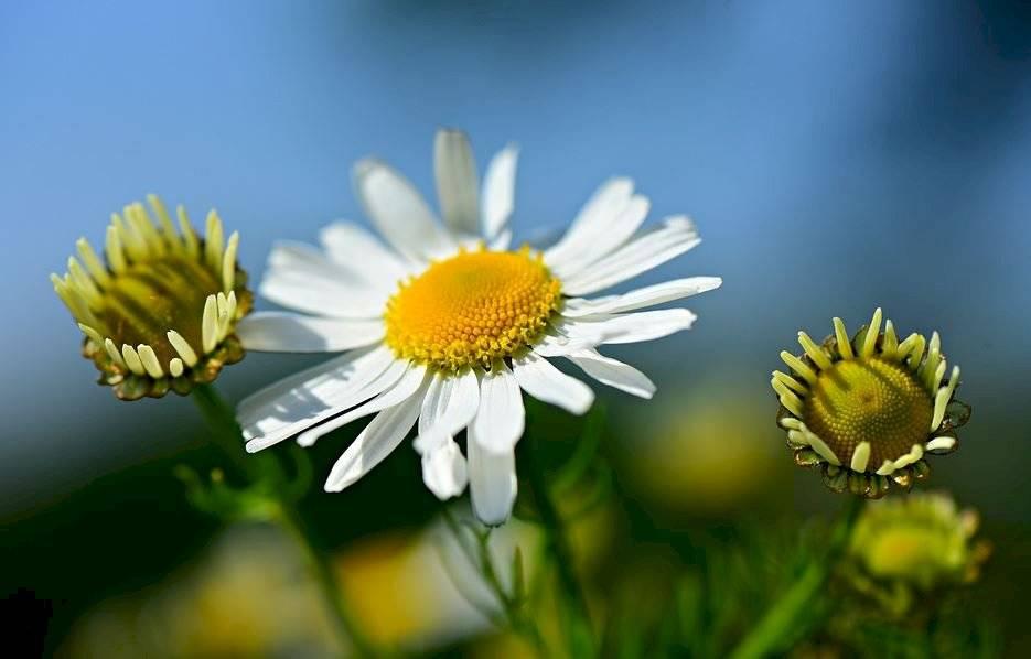 La manzanilla se destaca por sus flores pequeñas. Suele encontrarse en dos variedades: manzanilla alemana y manzanilla romana.