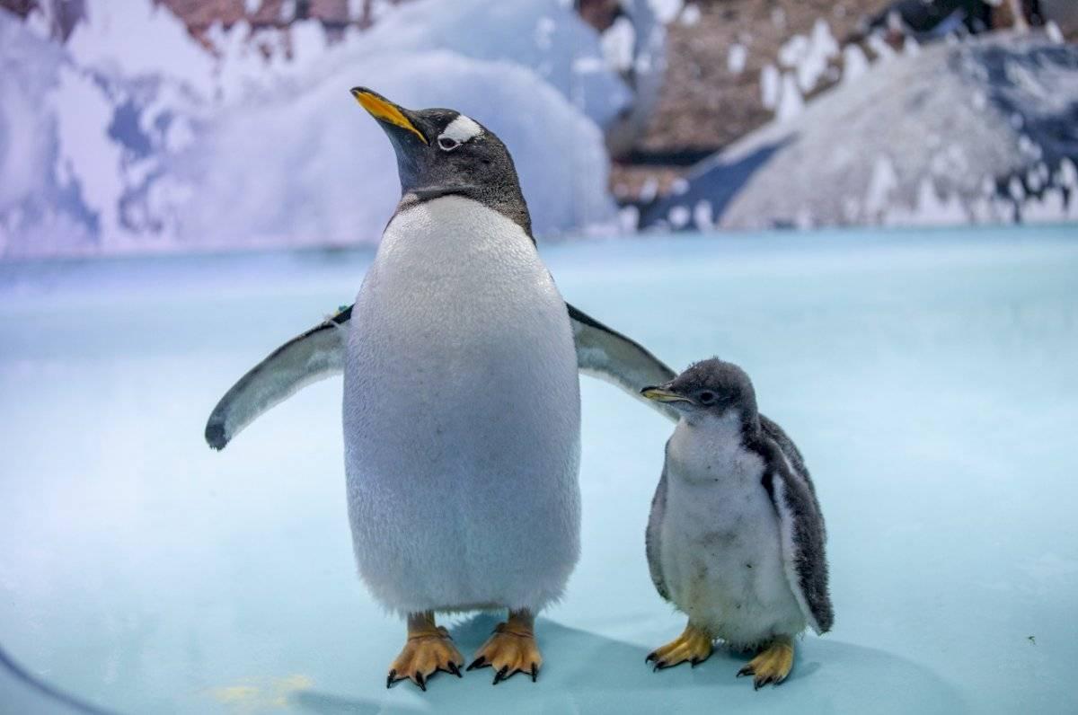 Pingüino papúa.