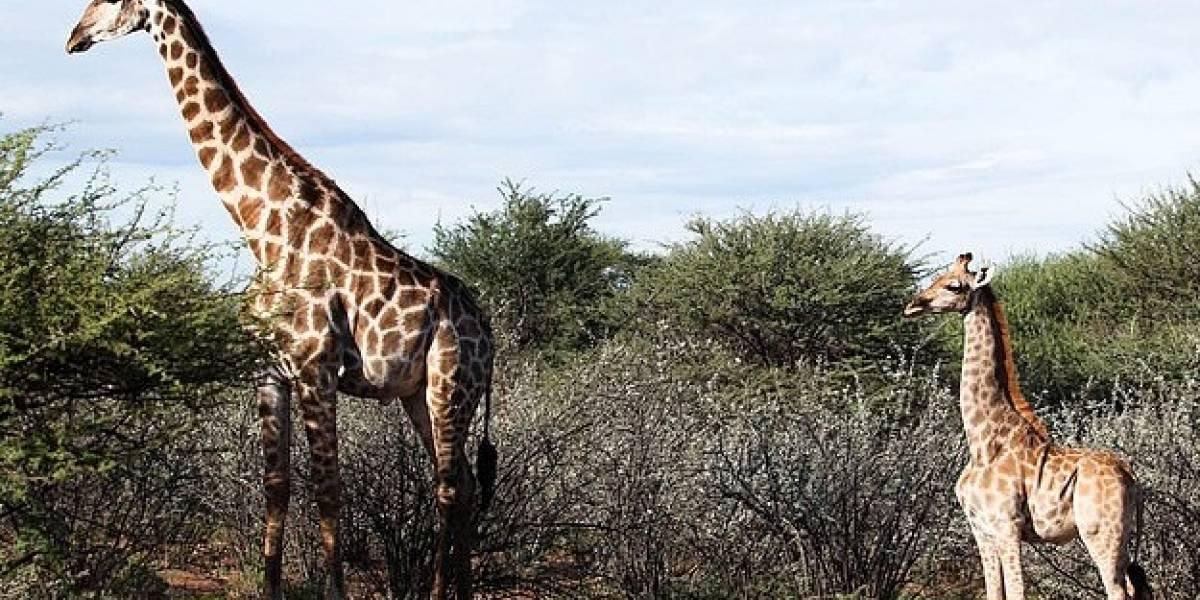 Por primera vez en la historia encontraron un par de jirafas salvajes que sufren de enanismo