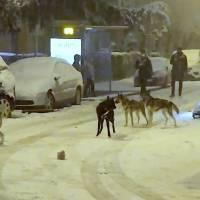 ¡De película! Graban a hombre paseando en trineo jalado por varios perros en pleno Madrid