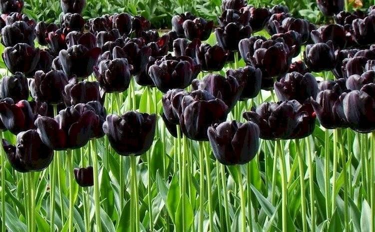 """Debido a su color, el Tulipán """"Queen of Night"""" puede incorporarse en conjunto con otros tulipanes de diversos colores."""