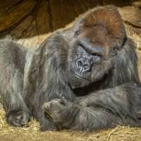 Gorilas de zoológico de San Diego dan positivo a coronavirus