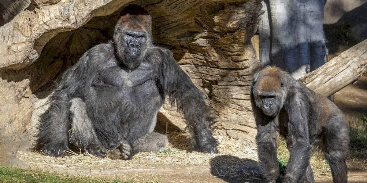 Dan positivo a coronavirus al menos 8 gorilas en el zoológico de San Diego
