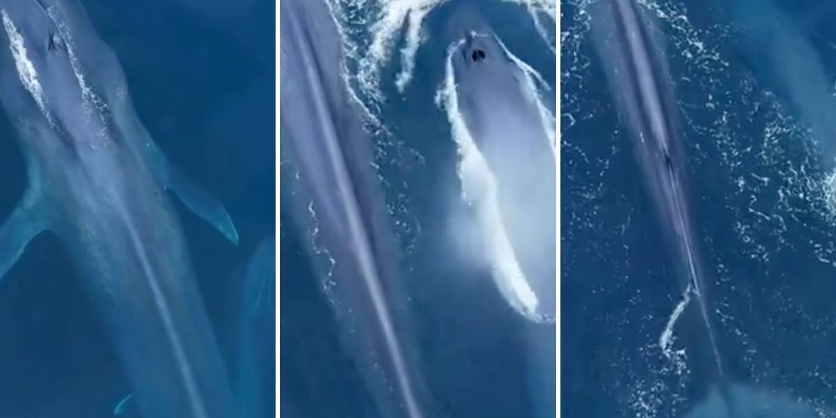 Vídeo impressionante registra gigante baleia-azul ao lado de filhote em alto mar
