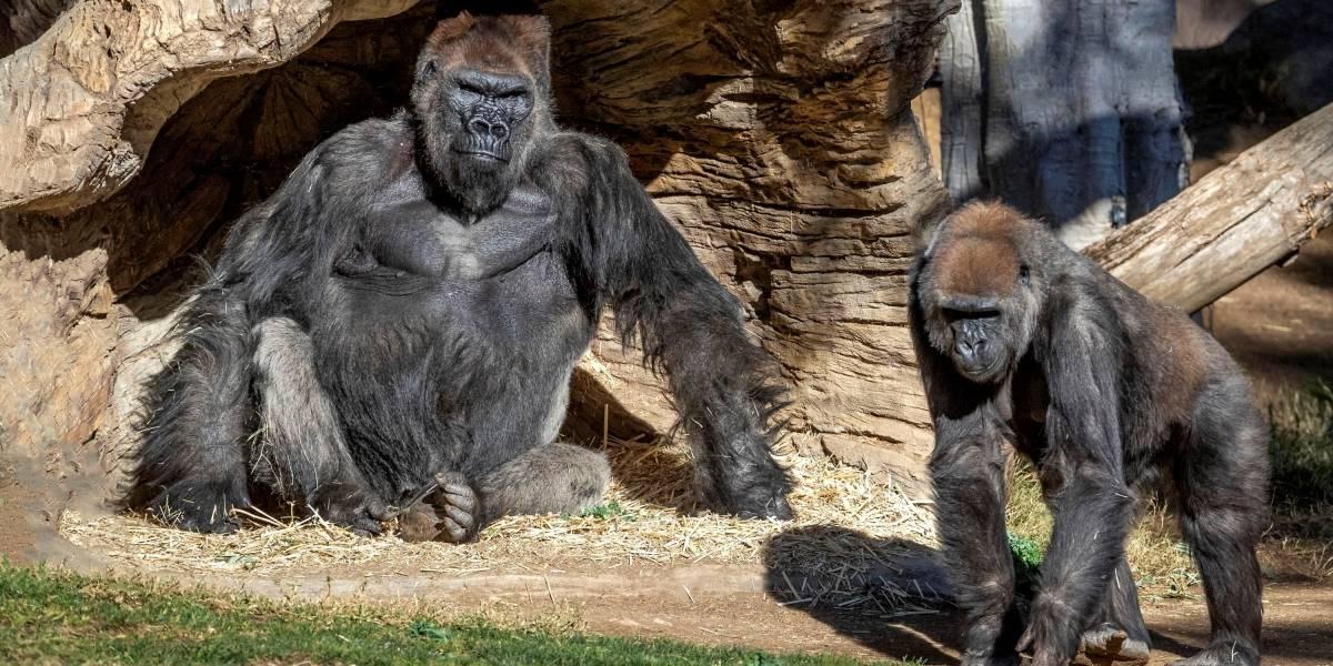 Un grupo de gorilas en zoológico de Estados Unidos se enferman de COVID-19