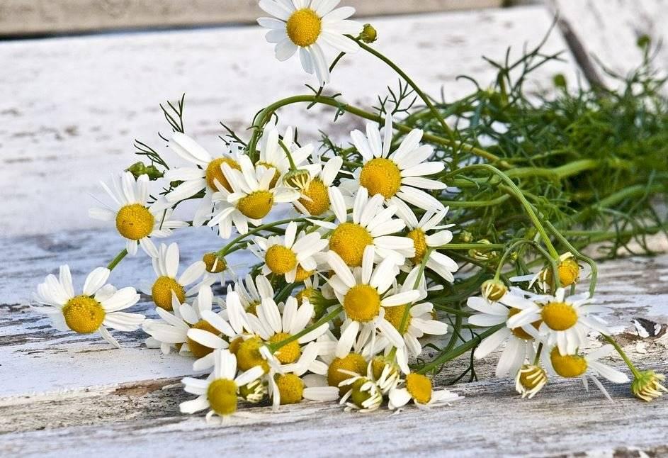 La manzanilla prefiere los suelos sueltos y arenosos y con una localización que le asegure mucho sol.
