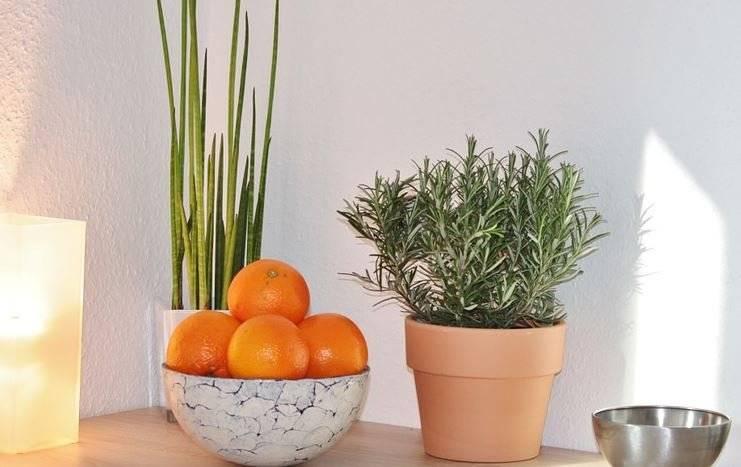 Las ramas del romero se pueden usar en forma de té para mejorar la digestión.