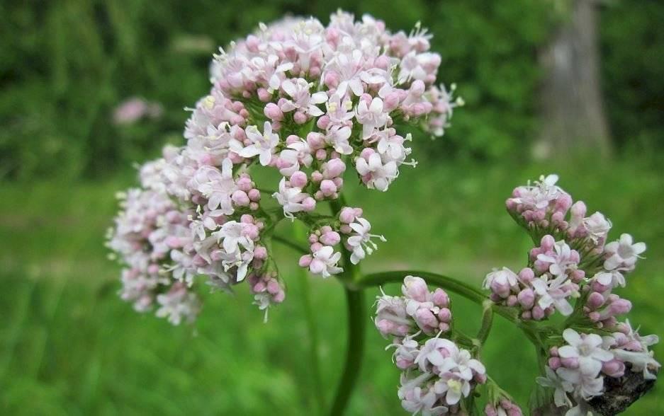 La valeriana es una de las plantas medicinales más populares en la cocina.