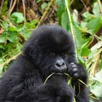 Gorilas de zoológico nos Estados Unidos testam positivo para coronavírus