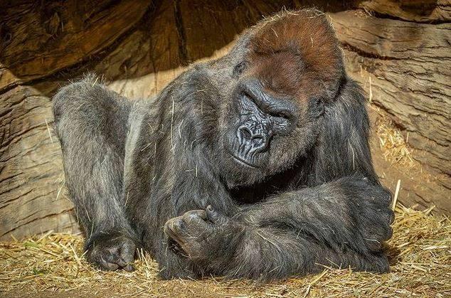 Gorilas con COVID