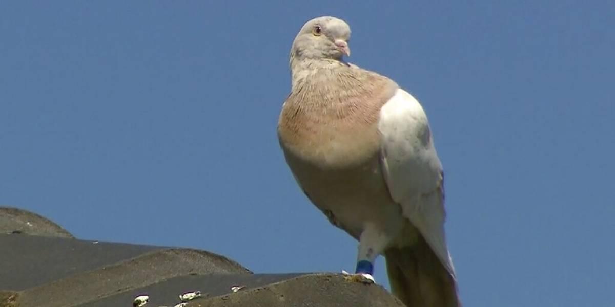 ¿Por qué en Australia quieren matar a una paloma que cruzó el Pacífico desde Estados Unidos?