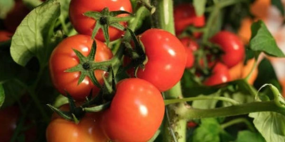 Buscan mano de obra para recoger tomates y evitar que se pierdan