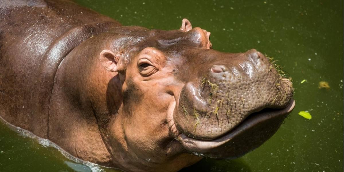 Los hipopótamos de Pablo Escobar se han convertido en una amenaza ambiental y piden sacrificarlos, advierten los científicos