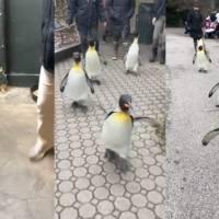 Pingüinos rey del zoológico de Cincinnati disfrutan de un día al aire libre