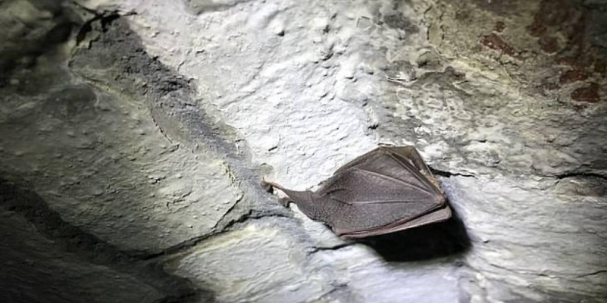 Encontraron un extrañísimo murciélago en un castillo (no se lo coman, por favor)