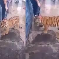¡Parece que vi a un lindo gatito! Sacan a pasear a cachorro de tigre en Puebla