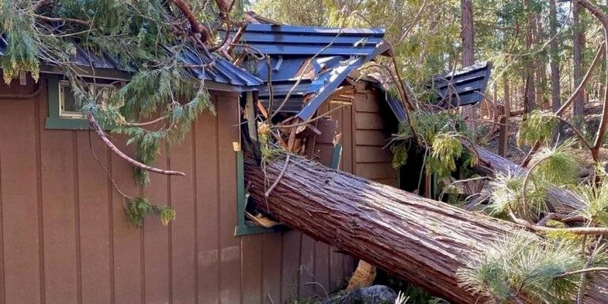 Fuertes vientos derriban emblemáticos pinos gigantes en California