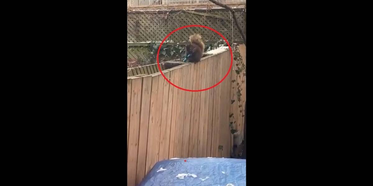Como assim? Mulher flagra esquilo afiando dente com faca; assista
