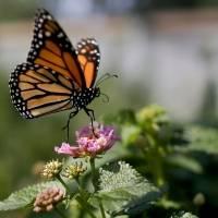 Mariposas monarca revolotean sin freno hacia la extinción