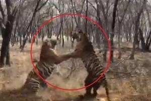 Vídeo que flagra luta impactante e brutal entre dois tigres na Índia se torna viral; veja