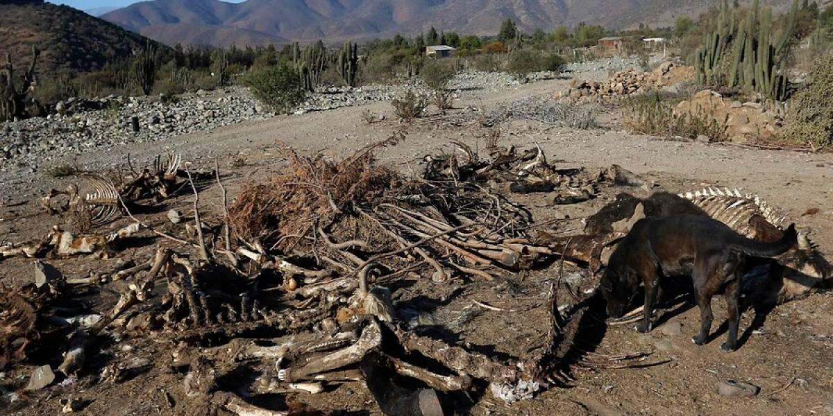 ¿Será el chupacabras? Enigmática muerte de 50 animales preocupa a Chile