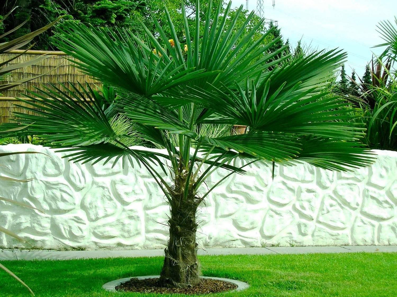 palmera enana