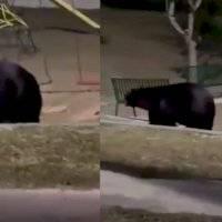 ¡Uno más! En Nuevo León fue reportado un nuevo avistamiento de un oso negro