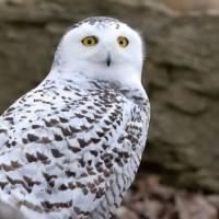 Fotos: coruja-das-neves é vista no Central Park pela primeira vez em 130 anos