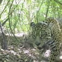 Esfuerzo histórico para liberar jaguares en Argentina