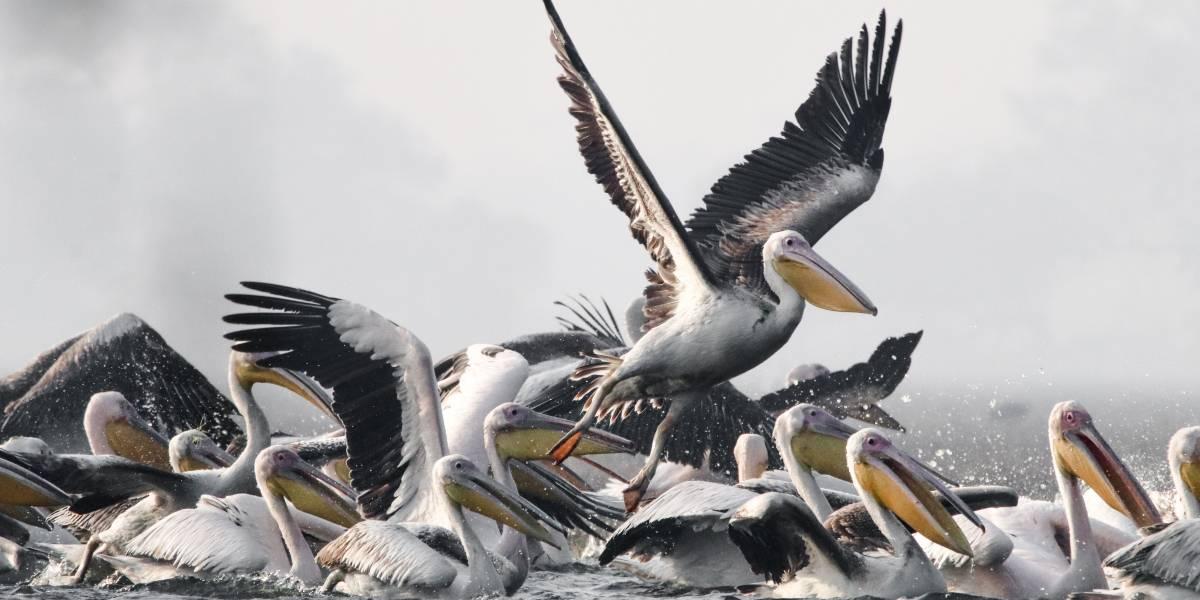 Encuentran 300 pelícanos muertos a causa de la gripe aviar en Mauritania