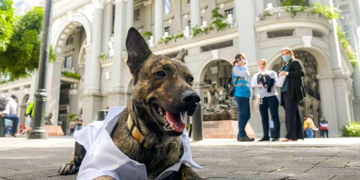 Guayabera blanca lució Zeus, la nueva mascota de la alcaldía de Guayaquil