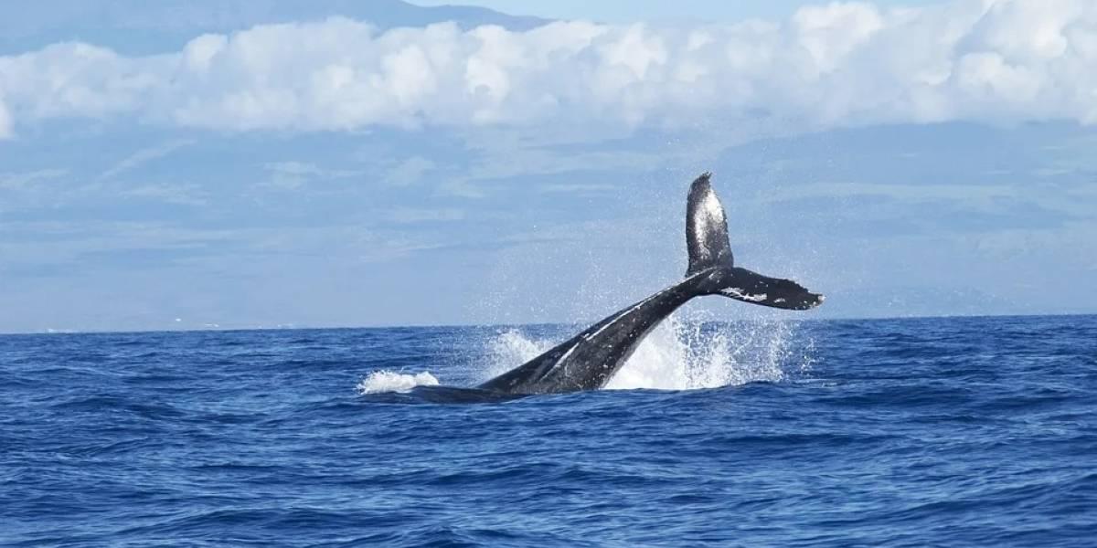 Gracias a la tecnología captan el agobiante movimiento de una ballena tratando de evitar chocar con los barcos