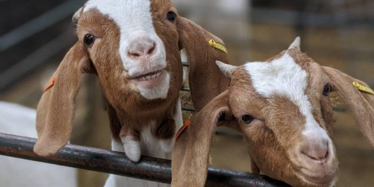 Fazenda encontra filão alugando suas cabras para videoconferências via Zoom
