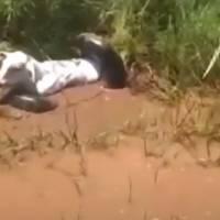 Vídeo mostra pessoas salvando vaca de ser comida por anaconda