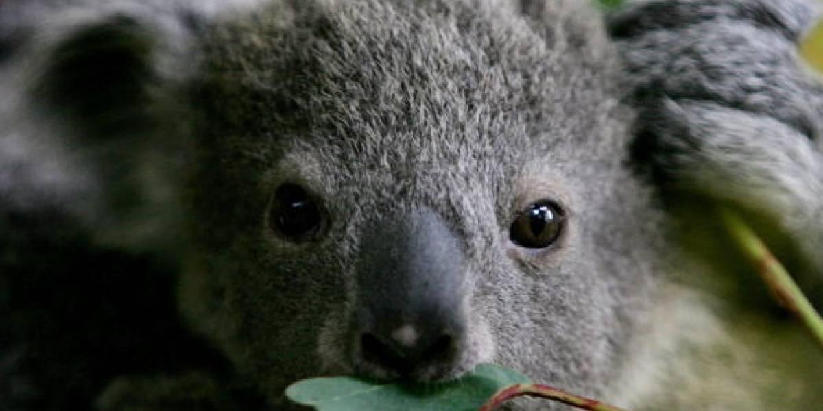 Video viral: Un koala provoca un choque múltiple y luego posa en el volante de un carro