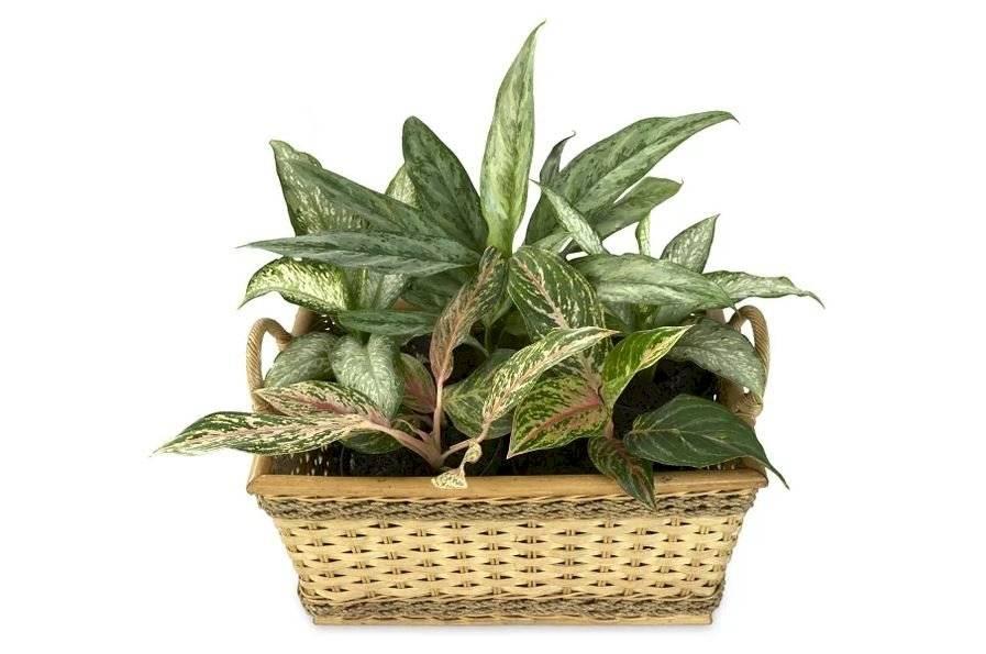 La Aglaonema es una planta tropical es perfecta para interiores con poca luz.