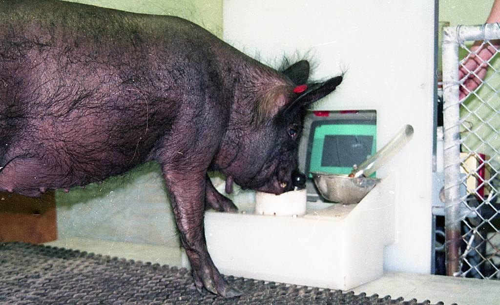 frontiers cerdos
