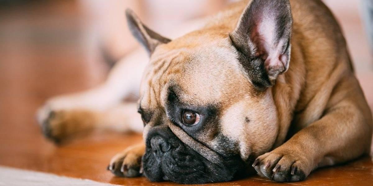 Cuide do seu pet: Como saber se o meu cachorro tem febre?