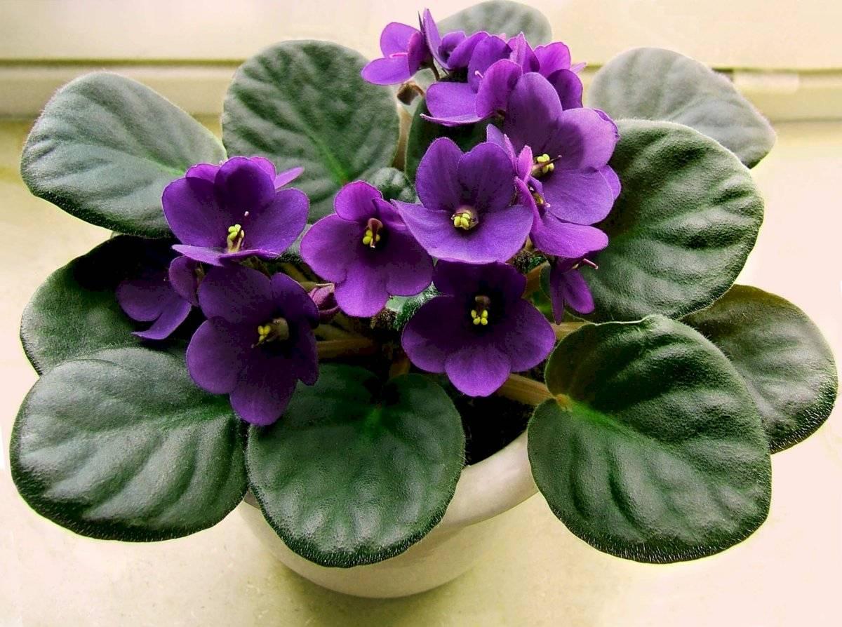 """La violeta africana (Saintpaulia) es una de las plantas de interior más resistentes y """"multiusos"""", además de estar en el top ten de las más agradecidas."""