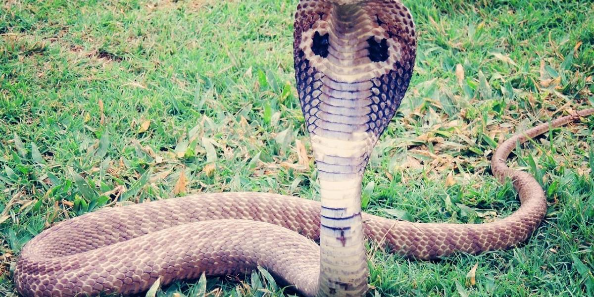 Vídeo mostra como homens salvam cobra venenosa de morrer afogada em poço