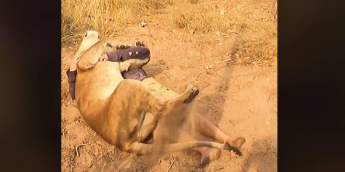 Corajoso! Homem viraliza ao abraçar e fazer carinho em leão; veja