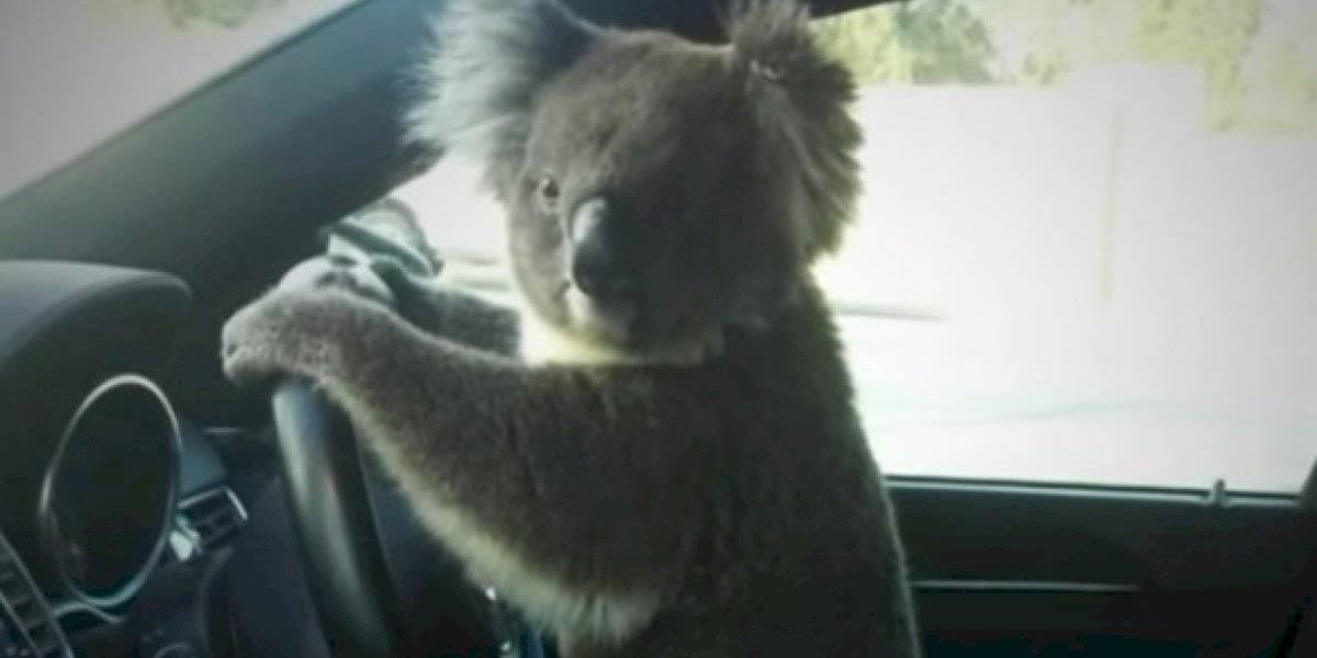 Koala provoca un choque y luego posa en el volante de un carro