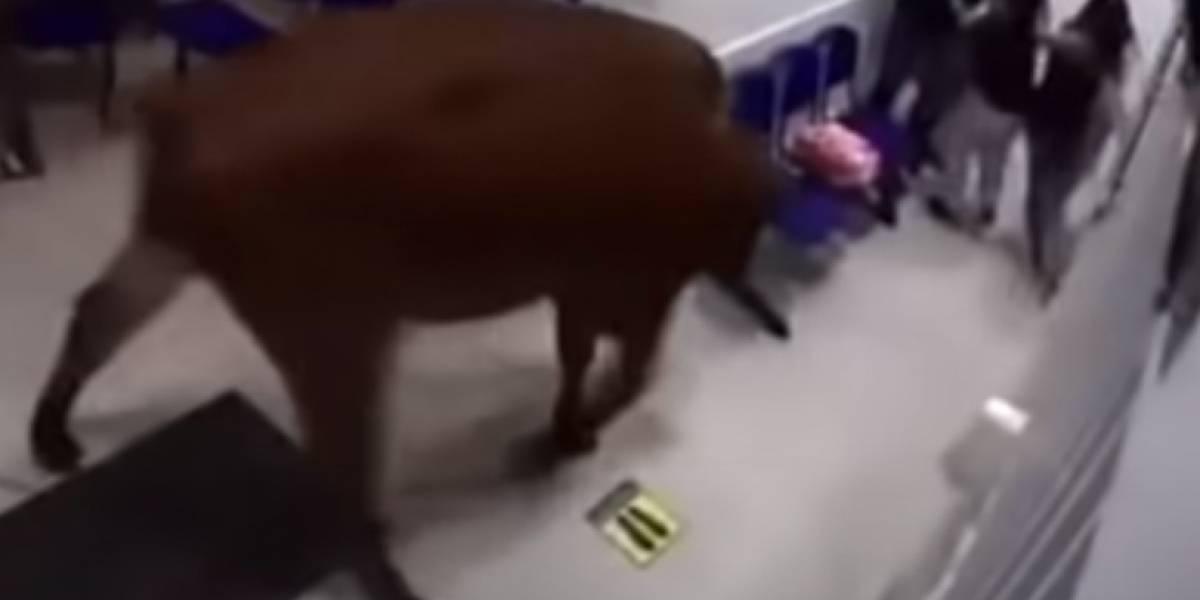Vaca invade hospital e ataca pessoas que esperavam por atendimento; assista