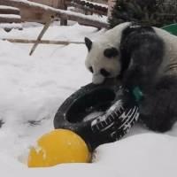 Pandita se divierte con las intensas nevadas de Moscú