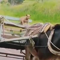 Vídeo que mostra cachorro 'conduzindo' charrete deixa internautas confusos e se torna viral nas redes